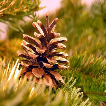 Balsam & Cedar (type)