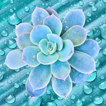 Baja Cactus Blossom (type)
