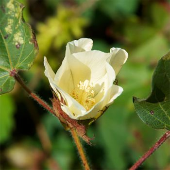 Cotton Blossom (type)