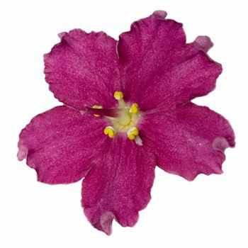 Raspberry Violet