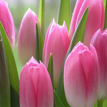 Tulips (type)