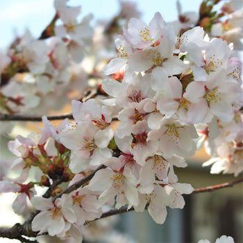 White Cherry Blossom (type)