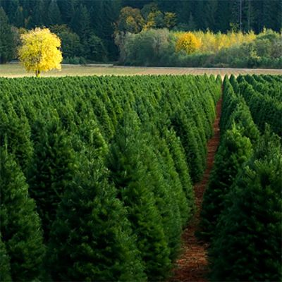 Spruce Orchard