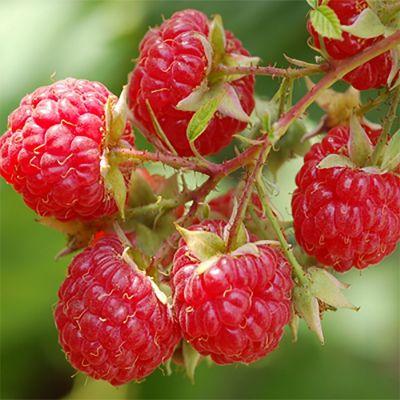 Sun Ripened Raspberry (type)